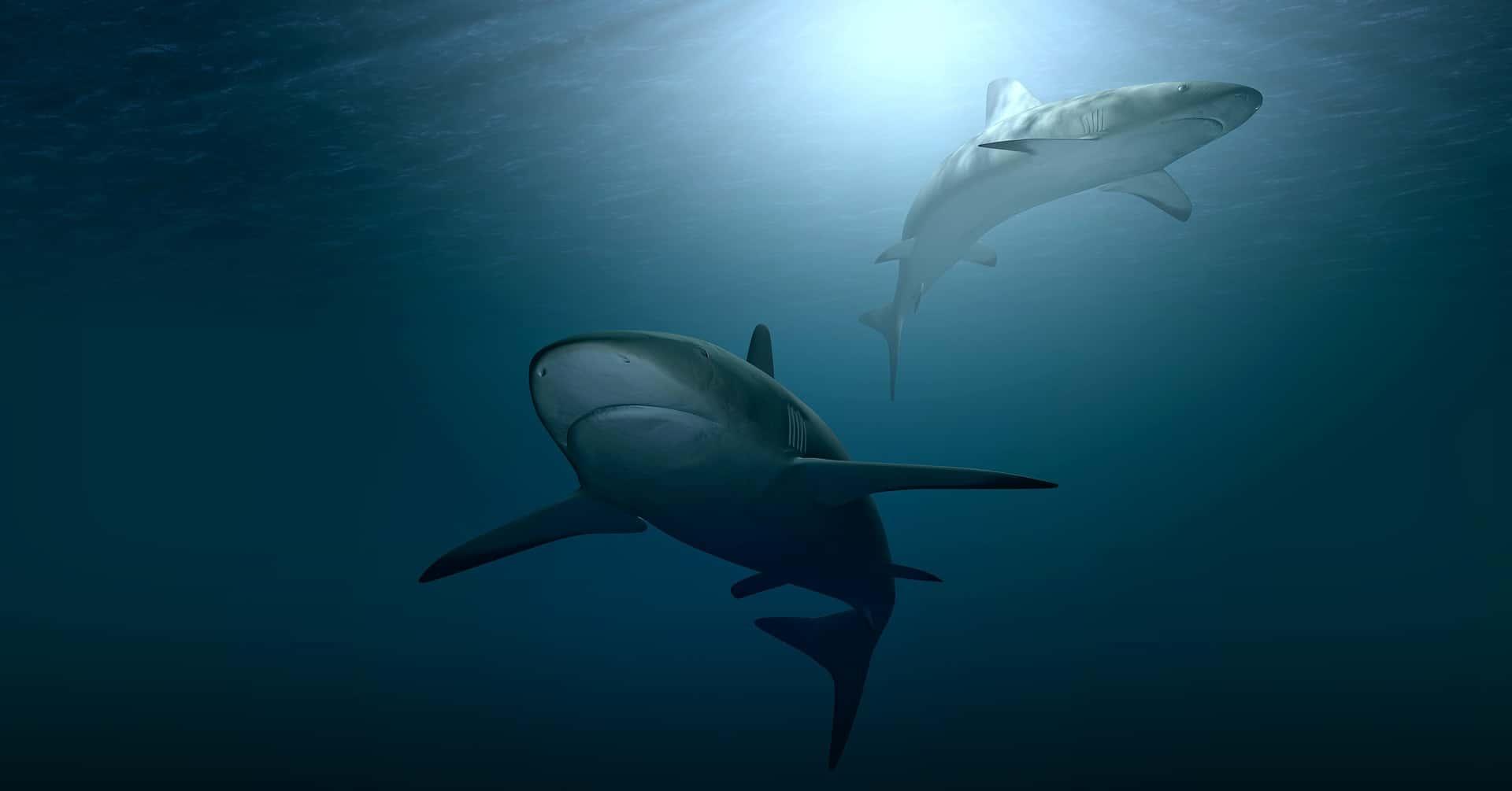 Ullapool Shark Ambassador